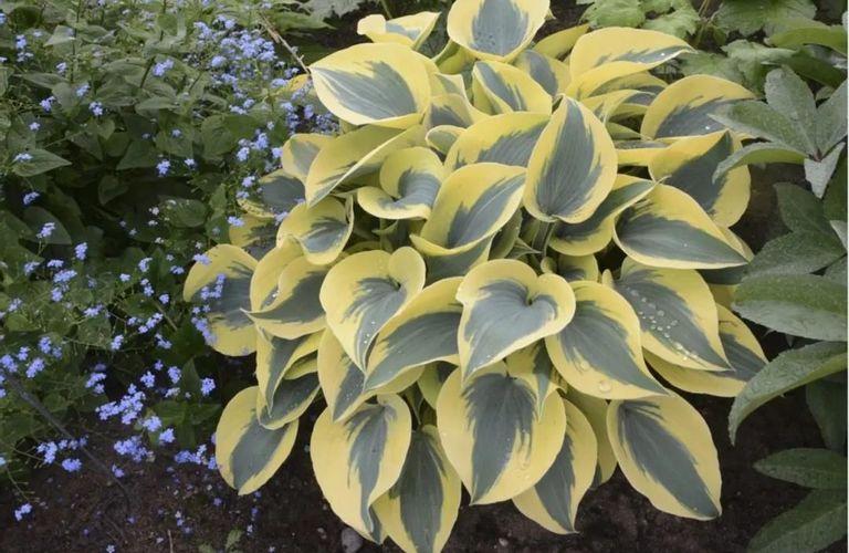 花园最常见的植物:玉簪属植物(Hostas)的护理手册来喽!