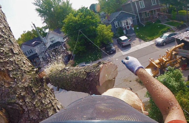 多伦多砍树流程