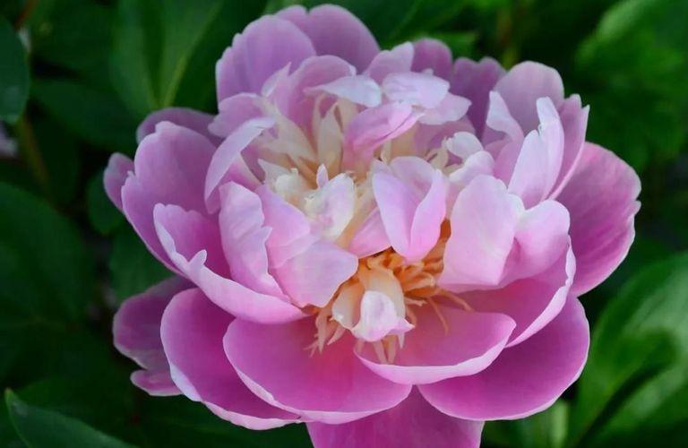 想要今年满院牡丹花开?那你一定要收藏这份牡丹花种植指南!
