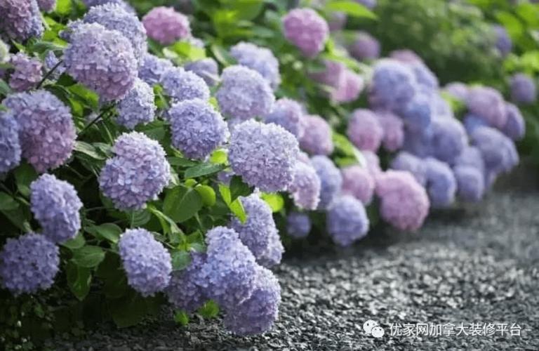 优家园艺专家告诉你:如何种绣球花!